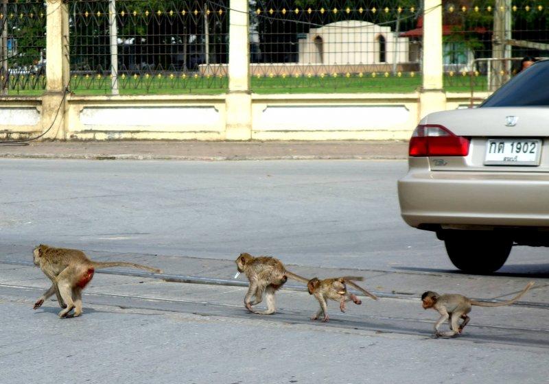 Lopburi singe