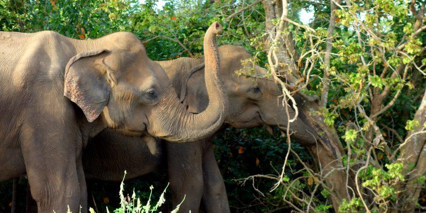 Udawalawe, safari dans un parc national !